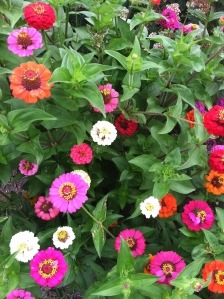 Neighbor's Zinnia Mixture